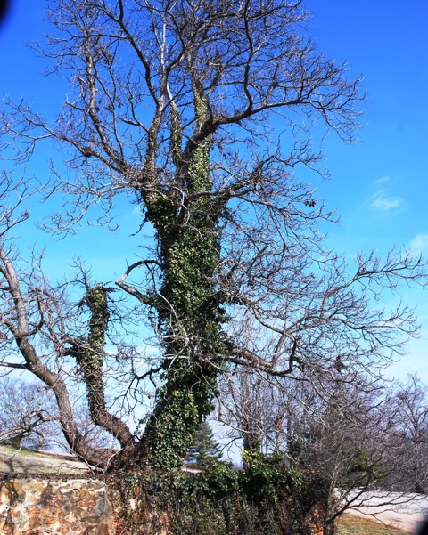 English ivy (2)
